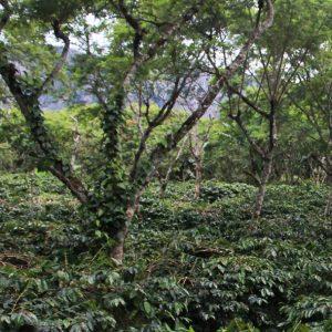 Mont58 Papua New Guinea Coffee